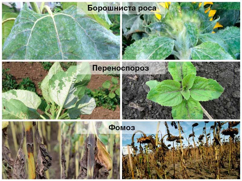 Хвороби соняшника при нестабільних погодних умовах — Агропомічник ...